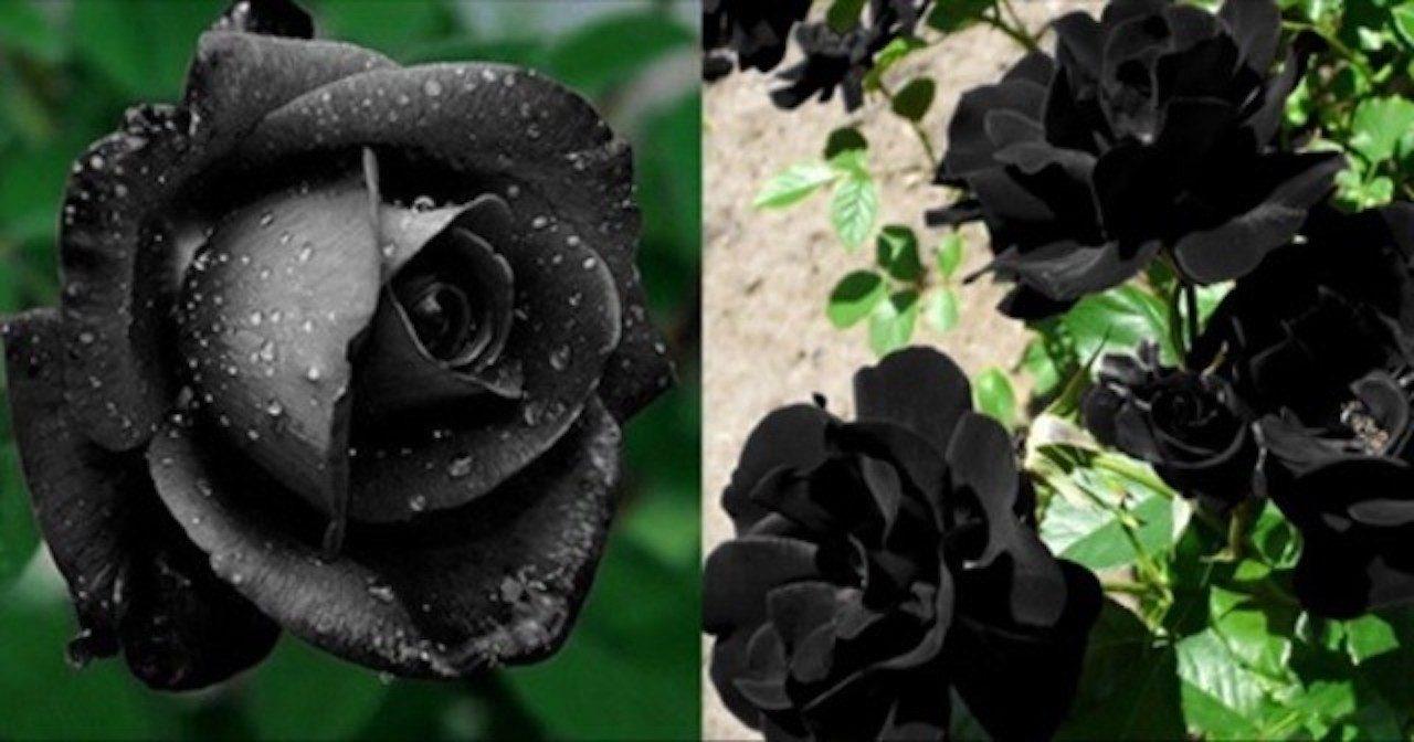 薔薇 言葉 黒い 花